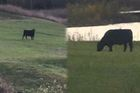Cow (or bull) on the loose on Indy golf course