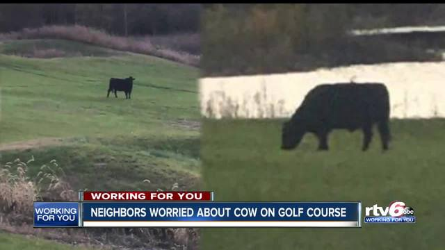 Neighbors worried about cow on the loose on golf course