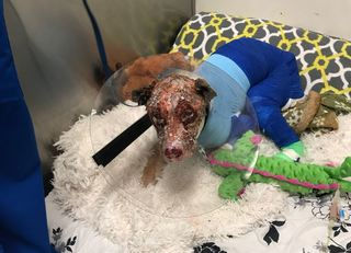 Burned, abandoned dog showing improvement